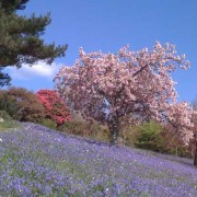 Cherry blossom & bluebells at Pamflete