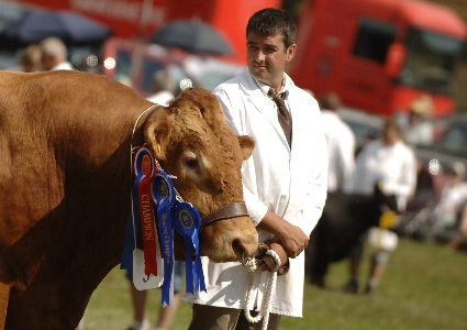 Prize winning South Devon bull