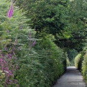 Coastguards lane with foxgloves