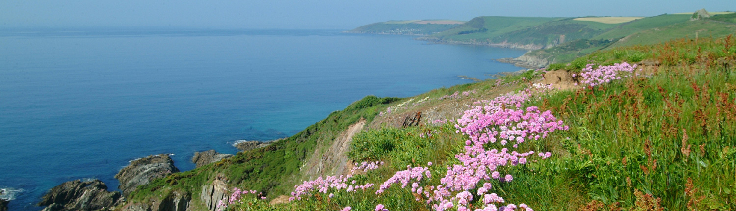Wild thrift on the cliffs at Flete Estate