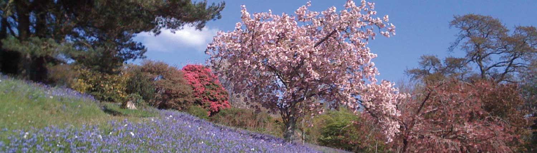 Pamflete cherry blossom