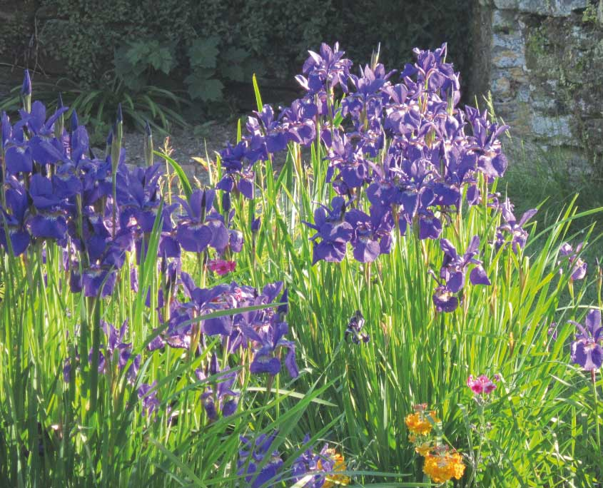 Purple iris on the stream garden