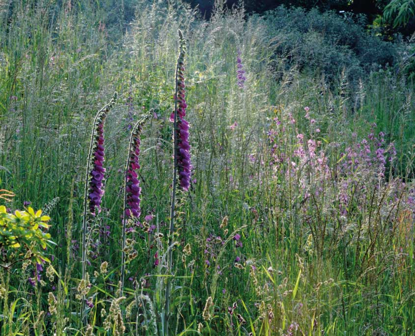 Wild foxgloves