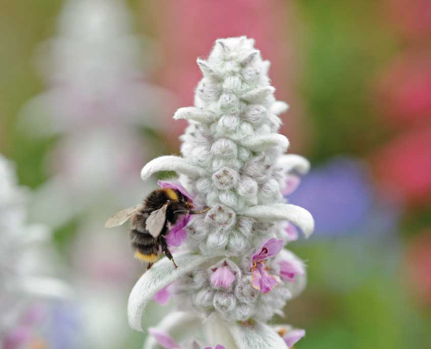 Stachys byzantina and cuckoo bumblebee