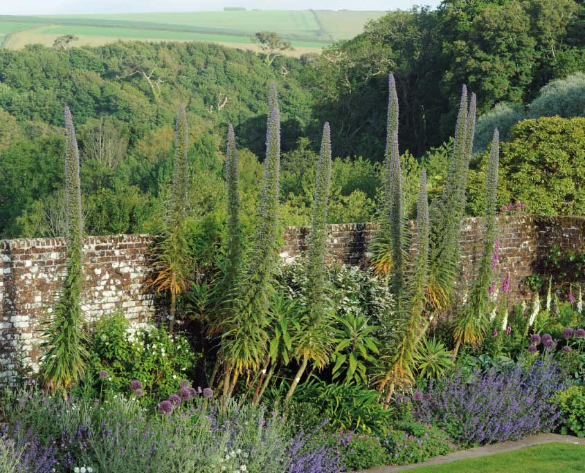 Echium pininana at Mothecombe