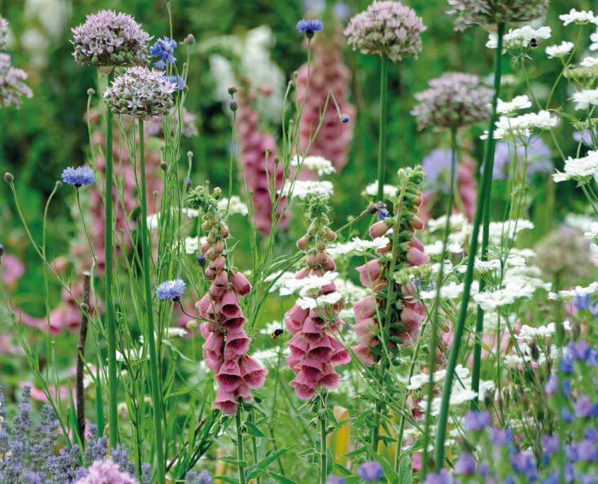Alliums and digitalis mertonensis