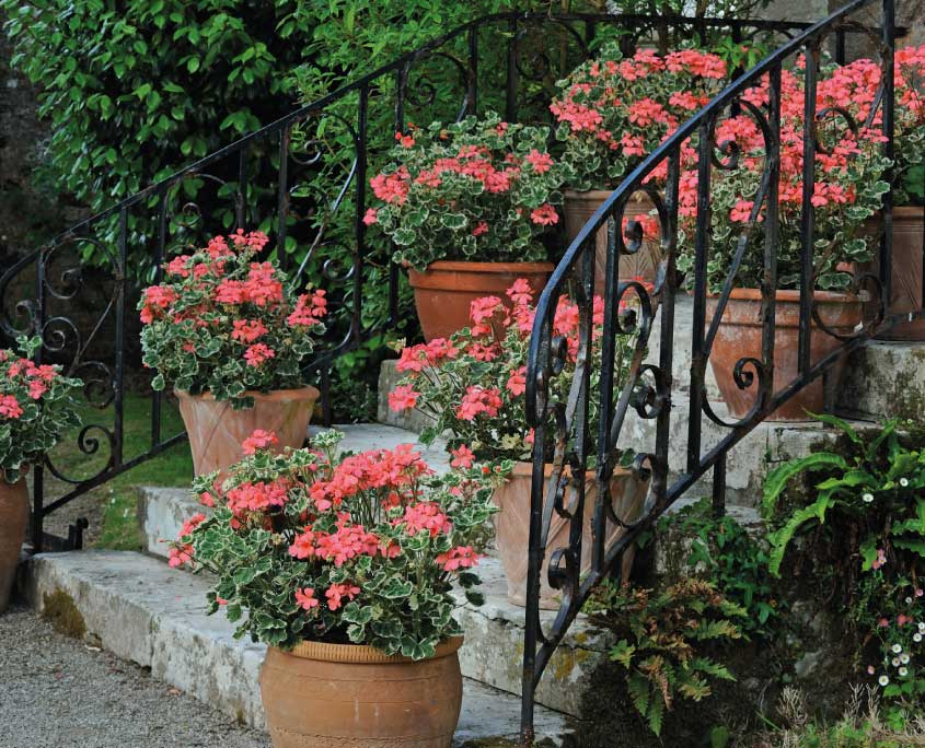 Pots of coral geranium on the front steps