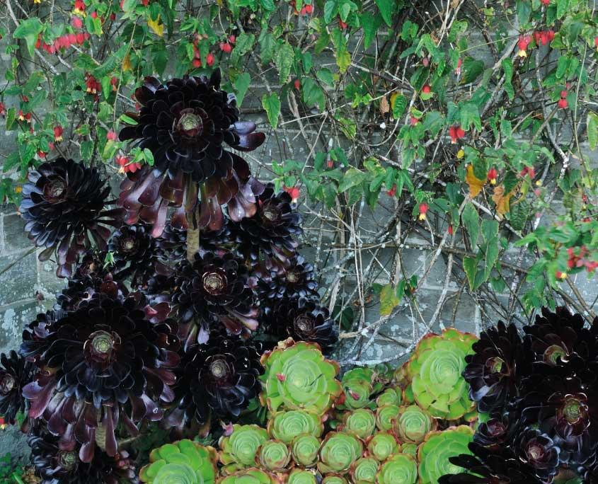 Aeonium zwartzkopf