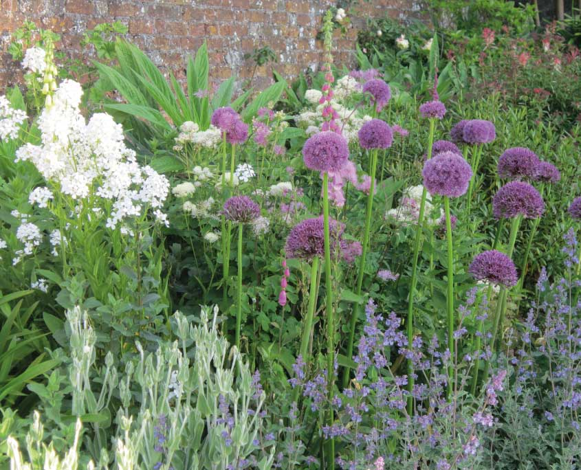 Alliums and campanula at Mothecombe