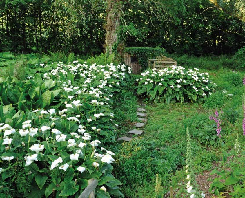 Arum lilies inthe bog garden