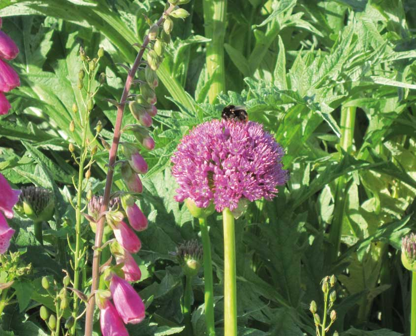 Foxglove, allium and bee