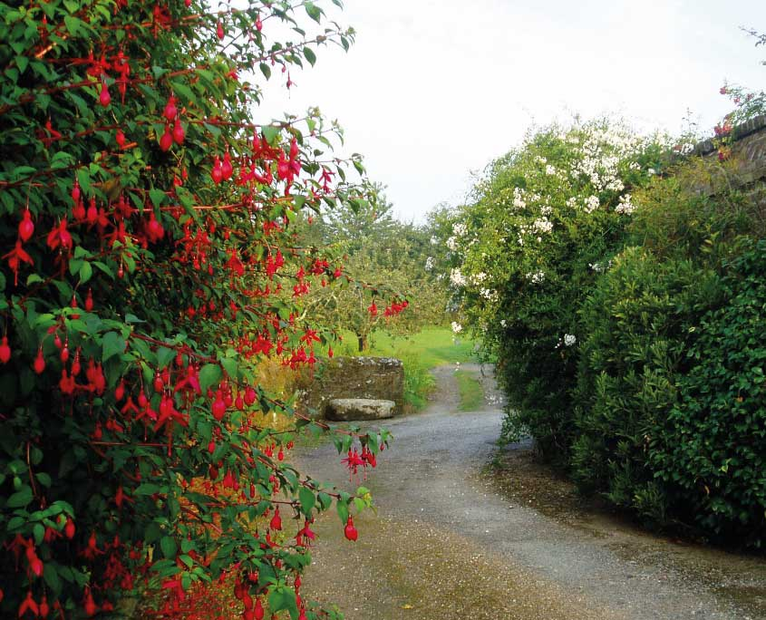 Fuchsias and old cider press at Mothecombe gardens