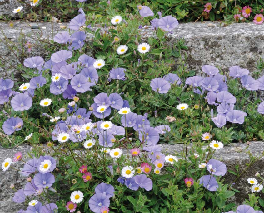 Blue Convolvulus and Erigeron
