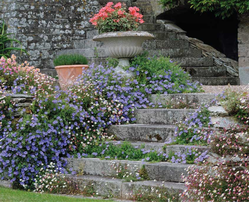 Blue Convolvulus on Steps to Mothecombe House