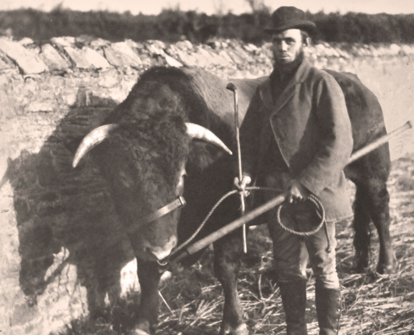 Victorian Pamflete bull and stockman
