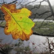 Last Autumn's Oak Leaf