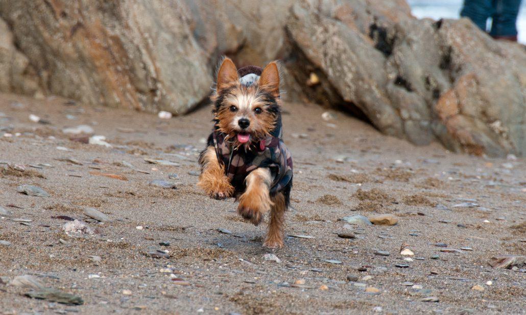 Little dog running on the beach