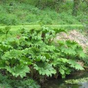 Massive gunnera at Mothecombe