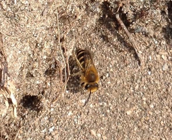 Ivy mining bee