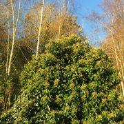 Mass of flowering ivy