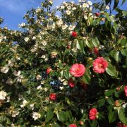 Camellias at Mothecombe